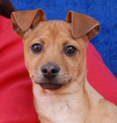 Duran is a cuddly baby boy debuting for adoption today at Nevada SPCA (www.nevadaspca.org).  He is a Chihuahua & Miniature Pinscher mix with super cute front-folding ears, now 3 months of age and neutered.  Duran is understandably terrified of being alone, after being abandoned by his previous owners for an unknown length of time.  We would love to adopt him into a home with a big brother or big sister dog so that he always has companionship.