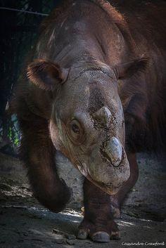 Sumatran rhino, the rarest rhino in the world.
