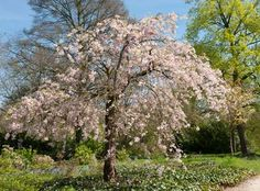 The Most Popular Weeping Cherry <br />