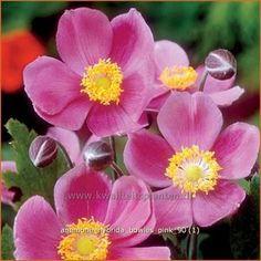 Anemone hupehensis 'Cinderella'   Anemoon, Herfstanemoon, Japanse anemoon au se 45 z hs n