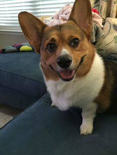 Baker's Derpy Dozen: 13 Corgi Smiles To Go!