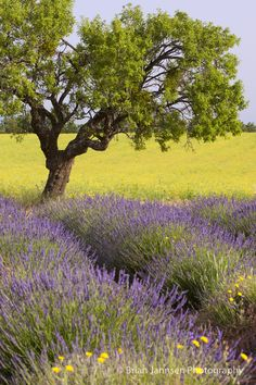 Lone tree in lavender field, Provence, France // © Brian Jannsen Photography
