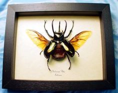 Your place to buy and sell all things handmade Insects Names, Bugs And Insects, Butterfly Frame, Butterfly Design, Rhino Beetle, Beautiful Bugs, Picture Hangers, Frame Display, Conservation