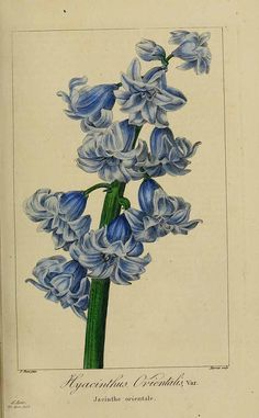 Hyacinthus orientalis L. hyacinth Mordant De Launay, F., Loiseleur-Deslongchamps, J.L.A., Herbier général de l'amateur, vol. 6: t. 366 (1817-1827) [P. Bessa]