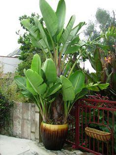 Giant White Bird of Paradise - Strelitzia nicolai - California Palm Nursery