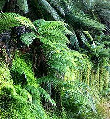 Dicksoniaceae   Dicksoniaceae - Wikipedia, la enciclopedia libre