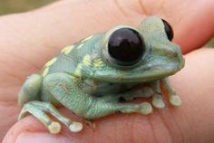 ulguru tree frog He has seen into the cosmic black vortex of oblivion itself. And his mind and eyes do have a chronic boggling effect going on. Funny Frogs, Cute Frogs, Reptiles And Amphibians, Mammals, Beautiful Creatures, Animals Beautiful, Baby Animals, Cute Animals, Wild Animals