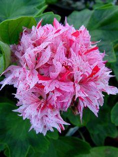 Geranium 'Richard Hodgson' Pelargonium