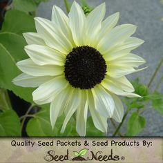 "Grow ""Italian White"" Sunflowers from fresh Helianthus annus flower seeds. Italian White will produce pale yellow, almost white blooms atop stems that raise 5 to 7 feet tall. Blooms will measure roughly 4 inches in diameter.  http://myseedneeds.com/products/fresh-flower-seeds/sunflower-italian-white-helianthus-annuus/"