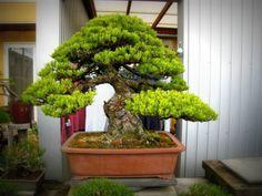 Bonsai Okayama