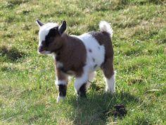 Pygmy Goat. I love it. I love goaties