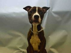 SAFE - 01/21/16 - JACKPOT - #A1062582 - Urgent Manhattan - MALE BR BRINDLE/WHITE STAFFORDSHIRE MIX, 1 Yr - OWNER SUR - EVALUATE, HOLD FOR LEGAL Reason NO TIME - Intake 01/09/16 Due Out 01/09/16