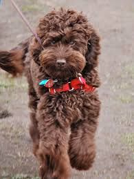 Image result for brown labradoodle puppies