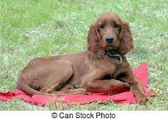 αιρισ σεττερ - Αναζήτηση Google All Dogs, Irish, Animals, Beautiful, Google, Hair, Food, Irish Setter, Animales