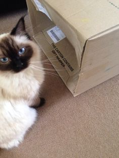 My RagDoll loves deliveries- it means boxes!