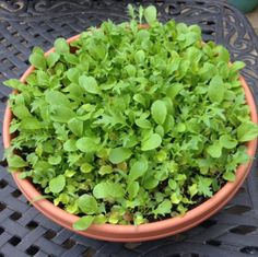 Have you heard of cut and come again lettuce? It's easy to grow and you can grow it in a small container. ~ gardenmatter.com