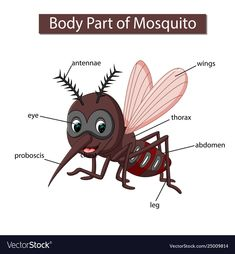 Diagram showing body part mosquito Royalty Free Vector Image - Diagram showing body part mosquito Royalty Free Vector Image - Learning English For Kids, Teaching English Grammar, English Lessons For Kids, French Language Learning, English Vocabulary, English Language, Japanese Language, Learning Spanish, Zoo Activities