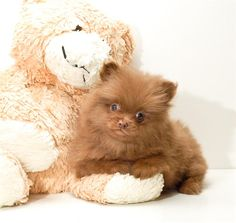 golden brown pomeranian puppy-it's so fluffy I could die!!! Lol :p
