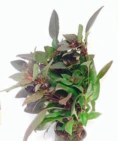 Live Potted Hygrophila corymbosa 'Kompakt' Aquarium Plant... https://www.amazon.com/dp/B01N9XKIGX/ref=cm_sw_r_pi_dp_x_8jd7zb0XX3CBG