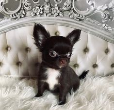 Chihuahua Care - 5 Important Issues Every Owner Should Know - Dog Pets Zone Really Cute Puppies, Cute Dogs And Puppies, Baby Dogs, Doggies, Cute Chihuahua, Chihuahua Puppies, Chihuahuas, Cute Funny Animals, Cute Baby Animals