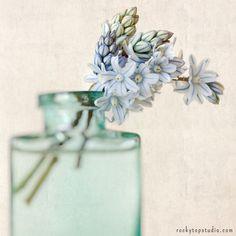 Fine art still life photography print of blue striped squill flowers by Allison Trentelman.