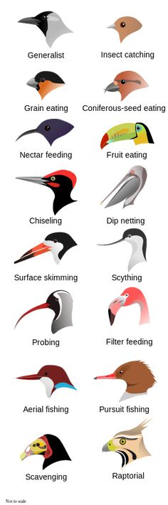 Comparison of bird beaks, displaying different shapes adapted to different feeding methods. Not to scale.  (Source)For teaching: about birdsSubmission by gracy