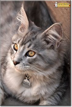 Read Toulouse the Maine Coon's story from Johannesburg, South Africa and see his photos at Cat of the Day http://CatoftheDay.com/archive/2014/April/24.html .