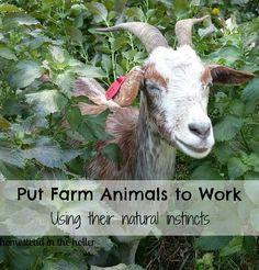 Putting farm animals to work using their natural instincts