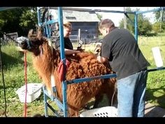 Two-year old llama gets his first haircut. First Haircut, Two Year Olds, Shearing, Hair Cuts, Image, Haircuts, Hair Cut, Hairstyles, Hair Style