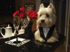 West Highland White Terrier is very classy