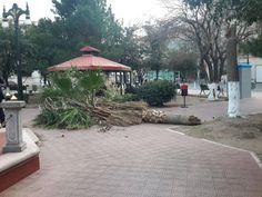 Falta de previsión de Secretaría de Educación pudo causar accidente en evento; se viene abajo palmera de Plaza Hidalgo | El Puntero