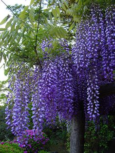 8 Flower Landscape Ideas For Your Garden – Garden Ideas 101 Wisteria Tree, Purple Wisteria, Love Flowers, Purple Flowers, Beautiful Flowers, My Secret Garden, Parcs, Flowering Trees, Dream Garden