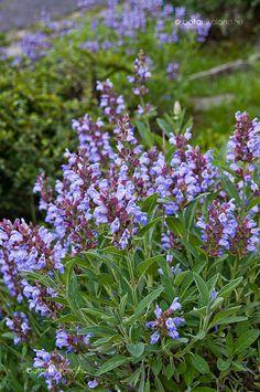Szárazságtűrő, virágos növények a kertbe, teraszra Salvia Officinalis, Astilbe, Beautiful Birds, Gardening Tips, Herbalism, Herbs, Sneaker, Vans, Blue Prints