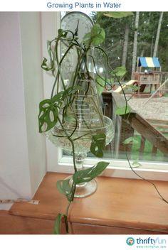 25 Impressive Indoor Water Garden Ideas For Best Indoor Garden Solution Indoor Water Garden, Indoor Plants, Hydroponic Gardening, Hydroponics, Indoor Gardening, Gardening Tips, Sweet Potato Plant, Garden Shelves, Magic Garden