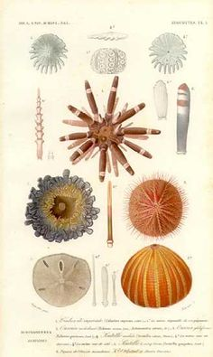 Antique print pictures of sea shells - Sea Urchins