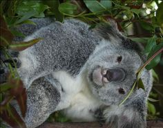 Visit and Review Kuranda Koala Gardens Hey I went here with my girlfriend and we got to hold a koala bear and pet kangaroos and wallabies, it was so awesome. To see the whole post check out my new …