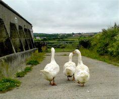 Bargus geese