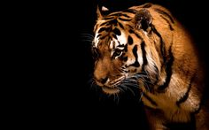 A look of fierce animal - the tiger. Animal Wallpapers. HD Wallpaper Download for iPad and iPhone Widescreen 2160p UHD 4K HD 16:9 16:10 1080p 720p Android smartphone