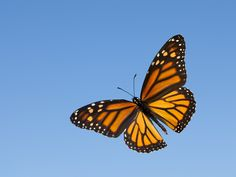 Monarch butterfly tattoo idea with purple in it somewhere. Butterfly Photos, Butterfly Wallpaper, Monarch Butterfly Meaning, Monarch Butterfly Tattoo, Butterfly Facts, Butterfly On Flower, Butterfly Tattoos, Butterfly Wings, Monarch Butterfly Migration