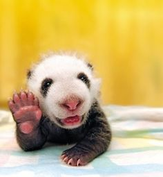 "This baby panda just wanted to say ""hi!"" to you."