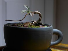 avocado bonsai, carefully placed on its side when potted and wired.