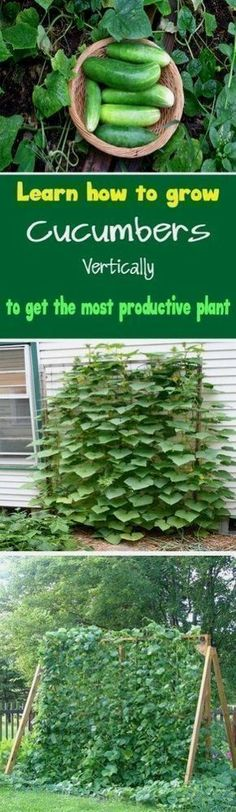 Cucumber Vertical Garden DIY via Urban Gardening Ideas - Learn how to grow cucumbers vertically to get the most productive plant Growing cucumbers vertically also save lot of space. #gardeningideasdiy #growingcucumbersvertically #howtourbangarden #vegetablegardeningdesign #gardenideas