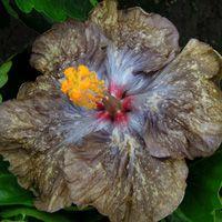 Taiwan Hibiscus - Linda Lee Blue Hibiscus, Hibiscus Flowers, Pretty Flowers, Planting Flowers, Taiwan, Tropical Gardens, Plants, Yard Ideas, Orchids