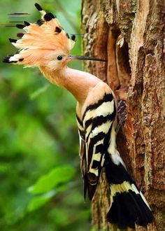 15 of the Most Beautiful Birds in the World (Pictures, Video.- 15 of the Most Beautiful Birds in the World (Pictures, Videos…) Hoopoe Upupa epops - Amazing Animals, Animals Beautiful, Cute Animals, Polar Animals, Wild Animals, Amazing Animal Pictures, Baby Animals, Most Beautiful Birds, Pretty Birds