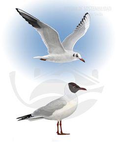 GAVIOTA REIDORA. De 35-39 cm de longitud, se trata de un ave relativamente grande. En Sevilla es invernante, época en la que puede verse con mucha facilidad sobrevolando los campus más cercanos al cauce histórico del río Guadalquivir.