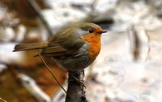 The European robin
