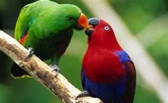 Eclectus Parrot is a parrot native to the Solomon Islands, Sumba, New Guinea and nearby islands, northeastern Australia and the Maluku Islands (Moluccas). It is unusual in the parrot family for its extreme sexual dimorphism of the colours of the plumage; the male having a mostly bright emerald green plumage and the female a mostly bright red and purple/blue plumage.