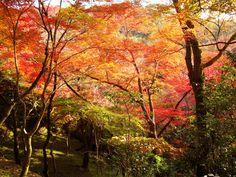 kyoto trees - Google Search