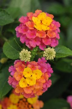 "Lantana -""Landmark Sunrise Rose"" - It starts yellow, then matures to coral then pink"