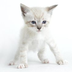 Meet Chandler, an adoptable Ragdoll looking for a forever home. If you're looking for a new pet to adopt or want information on how to get involved with adoptable pets, Petfinder.com is a great resource.